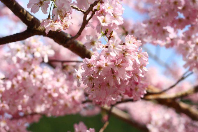Kiss X2で撮影した桜