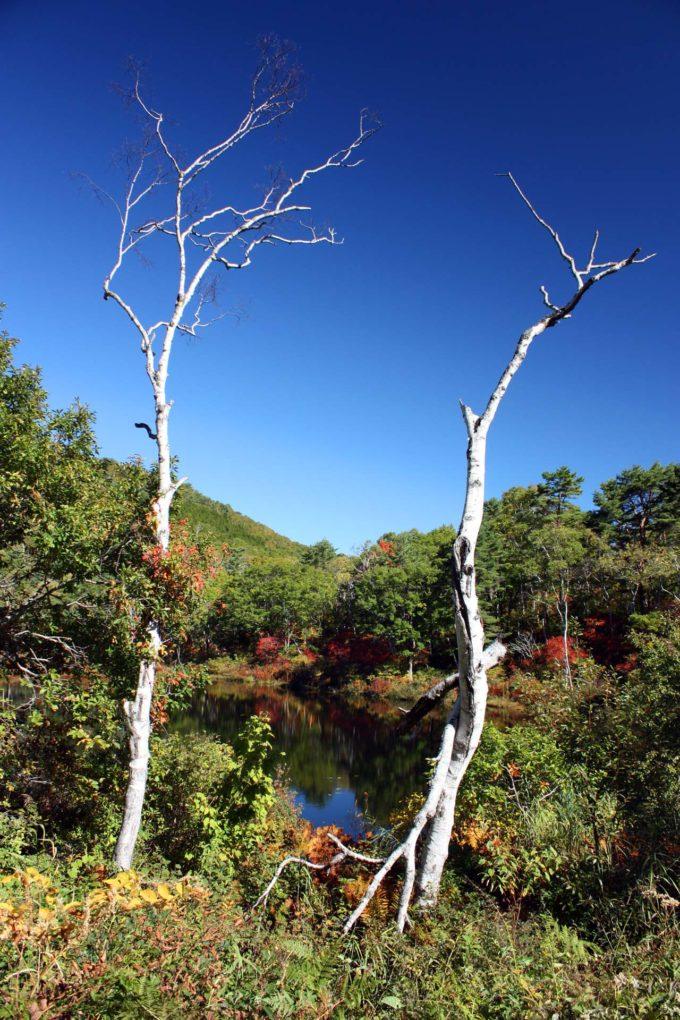 Kiss X2で撮影した高山植物の木