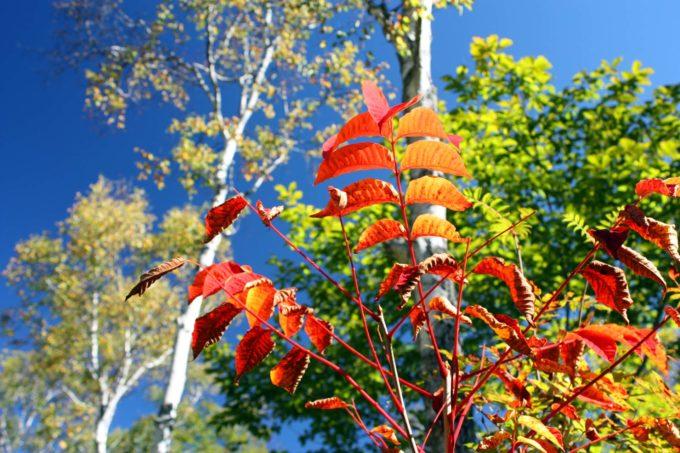 Kiss X2で撮影した高山植物の紅葉